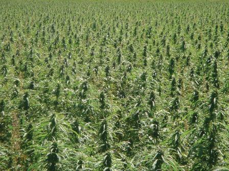 wie lange hält cannabis
